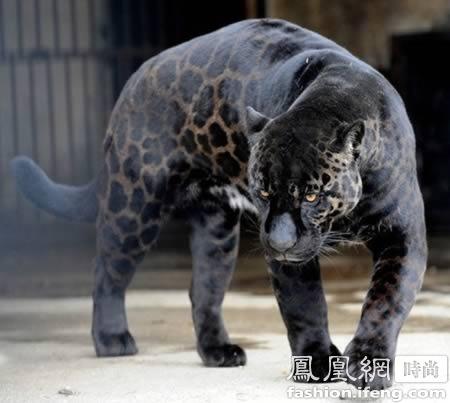 美洲大陆上最大的猫科动物
