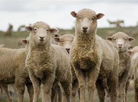 人造皮毛大衣热销中国,这可苦了澳洲的羊